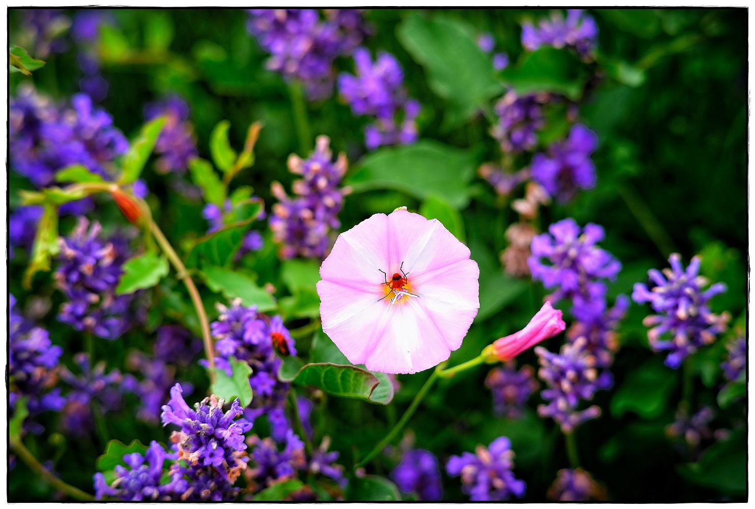 lila rosa grün