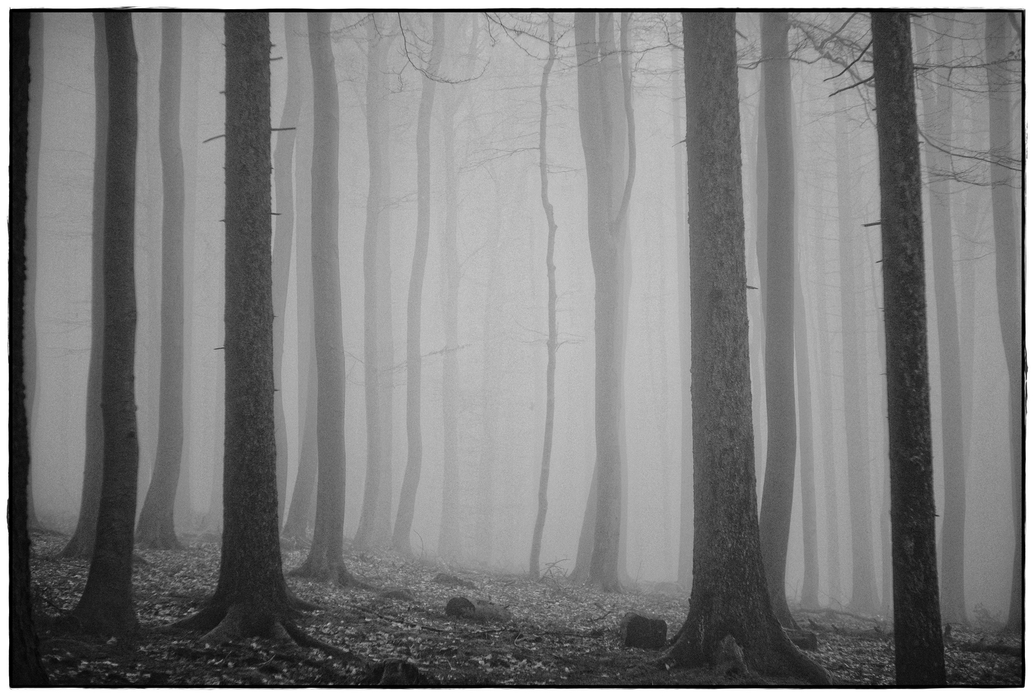 foggy forest  V