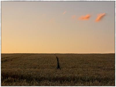 Weizenfeld am Abend